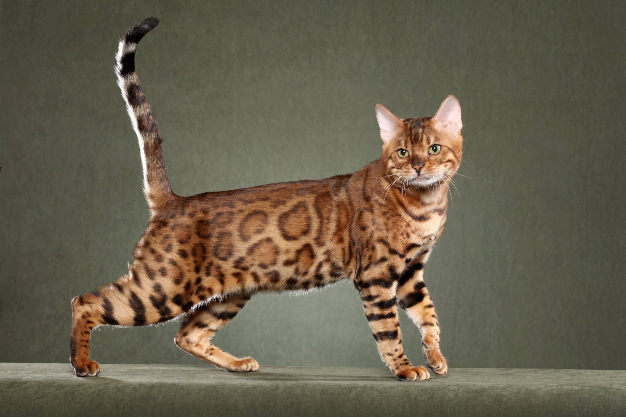 Cost Of Bengal Cat Uk