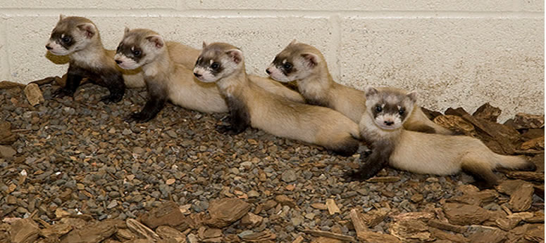 an introduction to the nature of a ferret Introduction by david m willis on september 29, 2017 at 12:01 am 01 - face the strange on saturday, september 30, i'm gonna be at the columbus (ohio.